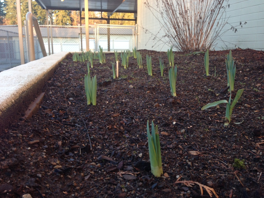 Daffodils planted by students in Mrs. Hopkins' and Mrs. Wiebe's class emerge through the soil.